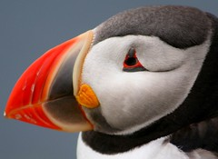 Puffin - up close and personal - by Matt Chapman
