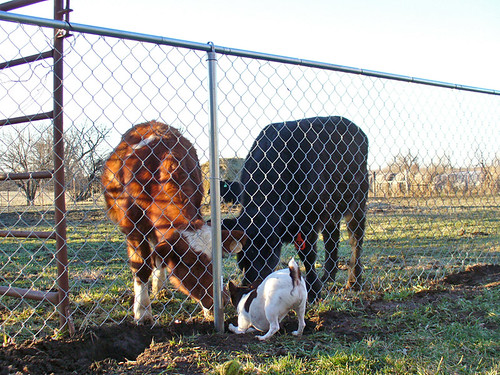 2007-01-06 - Dogs and Cows - 0043