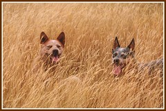 Grass Dogs (annzstream) Tags: dogs sunshine gold golden australiancattledog heeler acd redheeler blueheeler 1mill isawyoufirst