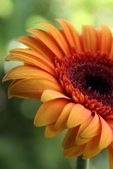 Orange Gerbera Flower (whoops vision) Tags: flowers orange flower garden petals stem gerberas gebera gerberadaisy abigfave anawesomeshot impressedbeauty superaplus