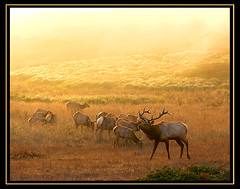 Tule Elk, back from the brink of extinction (MistyDaze) Tags: california light sunset wild nature topf25 beautiful animal animals landscape gold nationalpark bravo published searchthebest natural pacific wildlife beautifullight antlers pointreyes elk ungulate pacificcoast outpost favoriteplaces pointreyesnationalseashore tuleelk interestingness3 charleneburge top20sunrisesunet outstandingshots specnature stormygirl californiawildlife specanimal animalkingdomelite abigfave outdoorphotographer 123f50 impressedbeauty outdoorphotographermagazine isawyoufirst earthshotsorg earthshotsphotoofthedaymarch42007 frhwofavs lpwild highestposition3onsaturdayjanuary202007