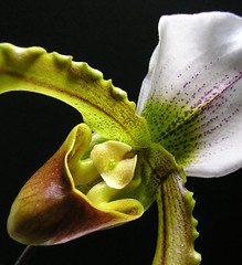I love Paphio 2 (tanakawho) Tags: plant orchid flower macro texture nature strange weird unique gorgeous bloom paphiopedilum onblack 1on1macros