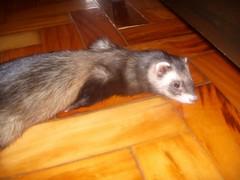 pretinha-tapete (o que os olhos vem) Tags: ferrets preta