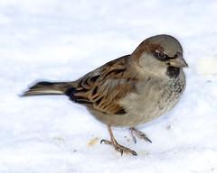 House Sparrow by Sergey Yeliseev, on Flickr