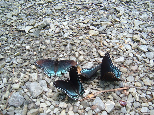 Butterflies at US Forest Service Road 222
