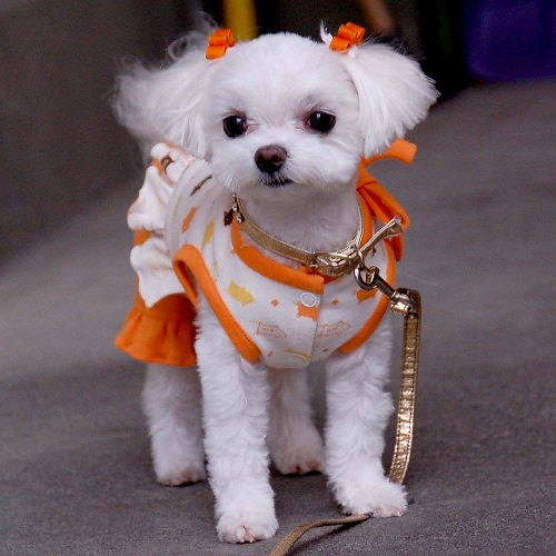 Maltese with shaved muzzle