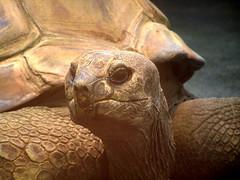 Seychellen Riesenschildkröte / Seychelles giant tortoise (Dipsochelys hololissa) - by FirstMichael