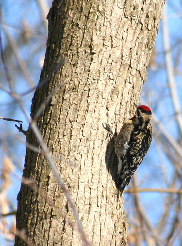 yellow-bellied sapsucker 03
