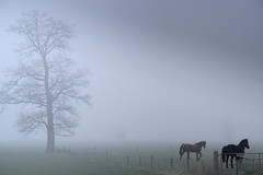 Horses & Fog (siebe ) Tags: trees horses mist holland netherlands dutch fog landscape scenery nederland x landschap paard aplusphoto flickrjobdiff hollandsiebe hollandstock
