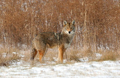 Coyote (Hard-Rain) Tags: coyote winter snow nature mammal illinois backyard prey predator plainfield canus specanimal explore21 abigfave
