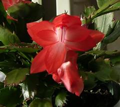 sunset dancer no stripes (jansword) Tags: christmas flowers sunset red 2 cactus green nature succulent dancer variation houseplants