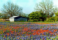 Bluebonnet Field, Ellis County, Texas (StevenM_61) Tags: usa rural landscape countryside spring texas unitedstates 1998 wildflowers ennis bluebonnets indianpaintbrush beautyinnature flickrphotoaward flickrbestpics