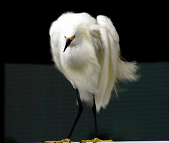 Hunched Shoulders- Snowy Egret - by MrClean1982