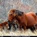 Corolla Herd Wild Horses 02732