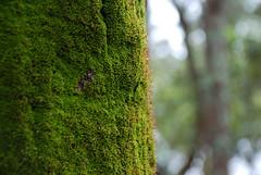 Moss Tree (Earlette) Tags: macro tree moss australia nsw oldbar midnorthcoast nikond80