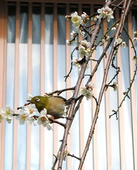 Mejiro on a hanging plum (tanakawho) Tags: white plant flower tree bird eye window nature temple branch blossom plum round hanging japanesewhiteeye mossgreen mejiro  1on1nature