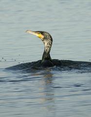 cormorn emergiendo y mudando el plumaje (ferran pestaa) Tags: barcelona birds aves remolar mywinners deltallobregat tepasaste