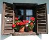 Pelargonium in the window (elisabatiz) Tags: red flower window hungary explore