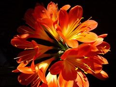 clivia (lokofil <]:-)) Tags: orange flower macro love nature blossom olympus coolest excellence colourartaward artlegacy