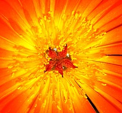 sunburst (Darwin Bell) Tags: red orange flower macro yellow center naturesfinest 50faves challengeyouwinner mywinners abigfave cywinner p1f1 30faves30comments300views colorphotoaward impressedbeauty aplusphoto 200750plusfaves 50faves50comments500views superbmasterpiece beyondexcellence magicofcolor favemegroup5 favemegroup6 flickrdiamond megashot superhearts twtmesh130715 twtmesh220736 bestoforange