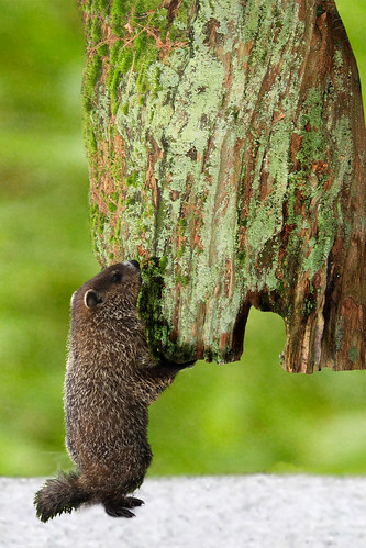 How much wood would a woodchuck chuck - Wikipedia
