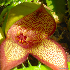 Stapelia gettliffei X Tavaresia barklyi hybrid flower bud opening - by Martin_Heigan