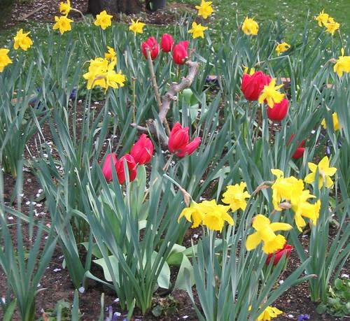 daffodils Tulips