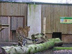 leopard (Cyberslayer) Tags: park greatbritain west safari leopard safaripark midlands westmidlandssafaripark