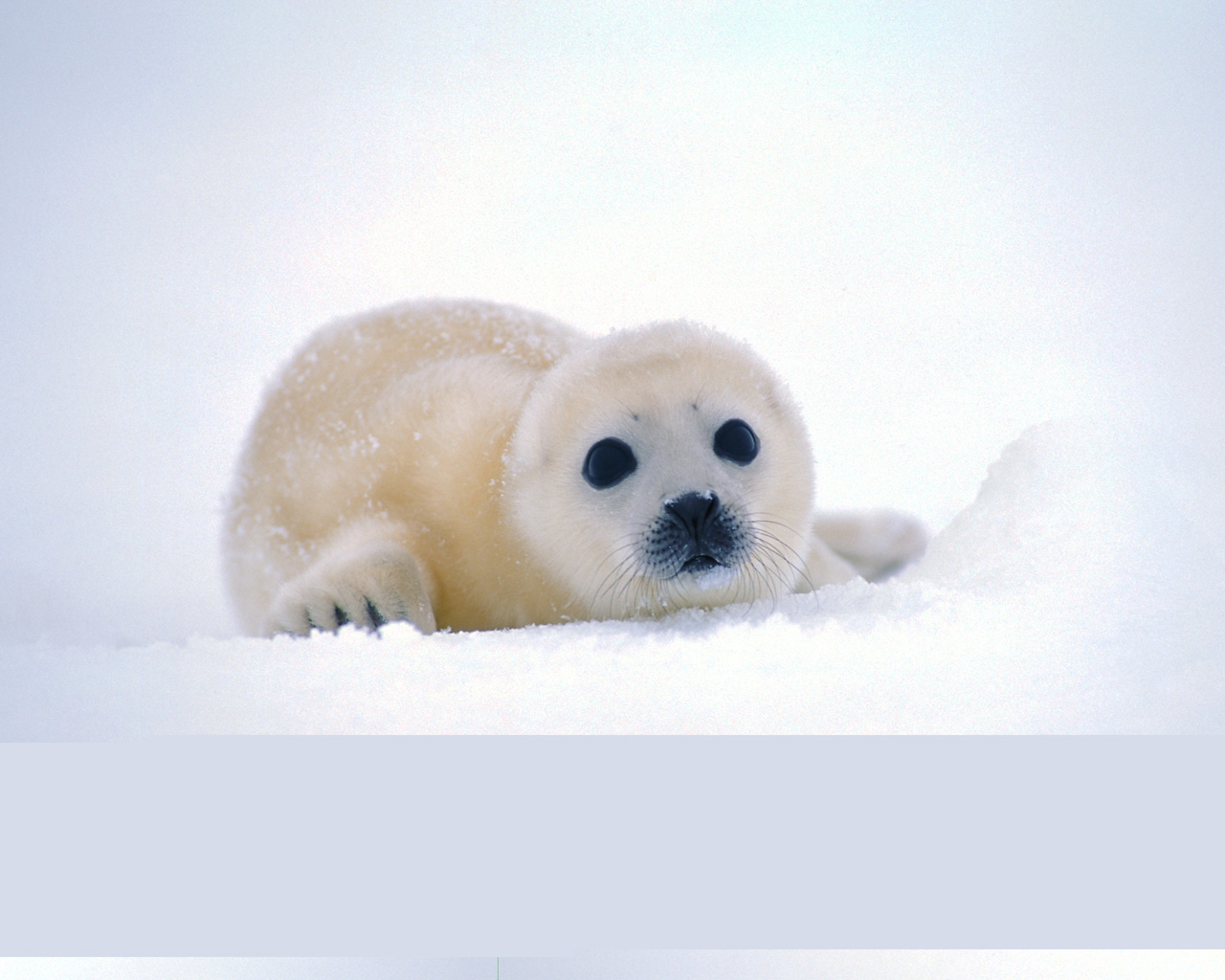 Harp seal pup wallpaper size. Kingdom: Animalia Phylum: Chordata