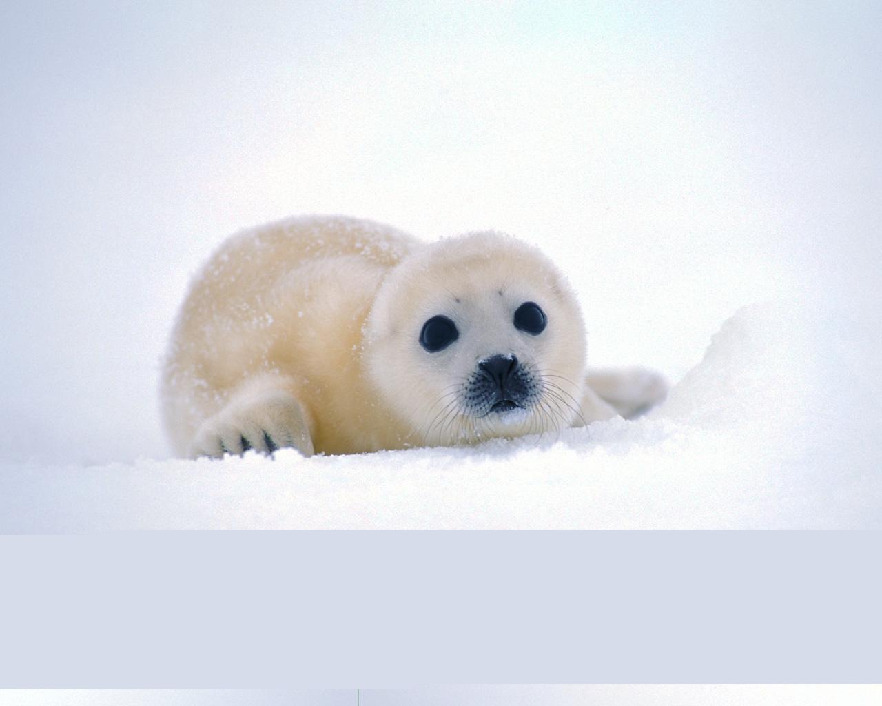 Harp seal pup wallpaper size. Kingdom: Animalia Phylum: Chordata