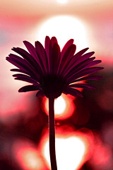 whimsical treat (DocTony Photography) Tags: pink sunset flower bravo searchthebest blossom gerbera bloom interestingness5 abigfave nikond80 doctony explore27feb07