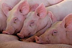 DSC_3463.JPG_Mekong_resize (olopez) Tags: pink geotagged piggy pig nikon funny asia d70 vietnam hog mekong specnature nikonstunninggallery olopez abigfave oscarlpez anawesomeshot impressedbeauty