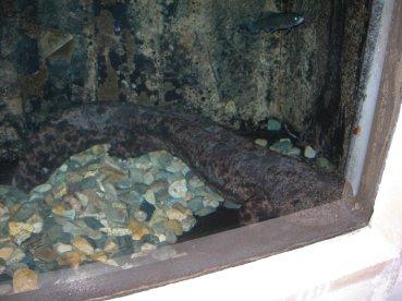 salamandre geante du japon