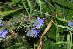 1276073515 Viper's_Bugloss 2007-08-29_19:27:41 Greenham_Common