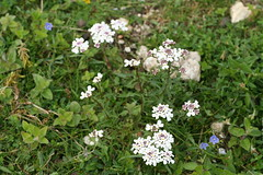 534543915 Candytuft 2007-06-06_18:49:40 Aston_Rowant