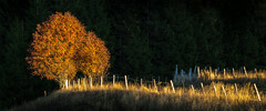 Autumn Light (Jean-Luc Peluchon) Tags: fz1000 lumix panasonic panoramic light sunset sunrise field rural campaign nature fence contrast tree autumn color landscape outside