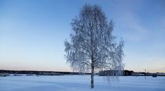björkenmedvy (edxge84) Tags: björk snö snow winter vintertider vinterlandskap canon canon5dmarkiii canon24105 kallt kyla outdoor