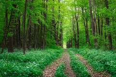 Road in forest surrounded by wild garlic (laszlo.szelenczey) Tags: forest nature tree wild garlic flower field leaves road outdoor plants flora hungary fertod esterhazy park