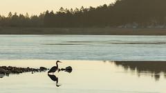 Crane seeking breakfast (juggleben) Tags: crane bird sunrise lake water