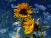 flower-boquet (artisanz) Tags: flowers newzealand yellow collage daisies photoshop garden sunflowers layers e300