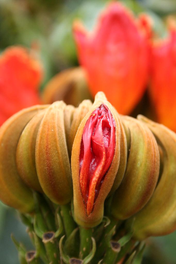 Uma série com Flores da Lanterneira, Tulipa Africana - A series with the African Tulip Tree's Flowers (Spathodea campanulata) 27 347
