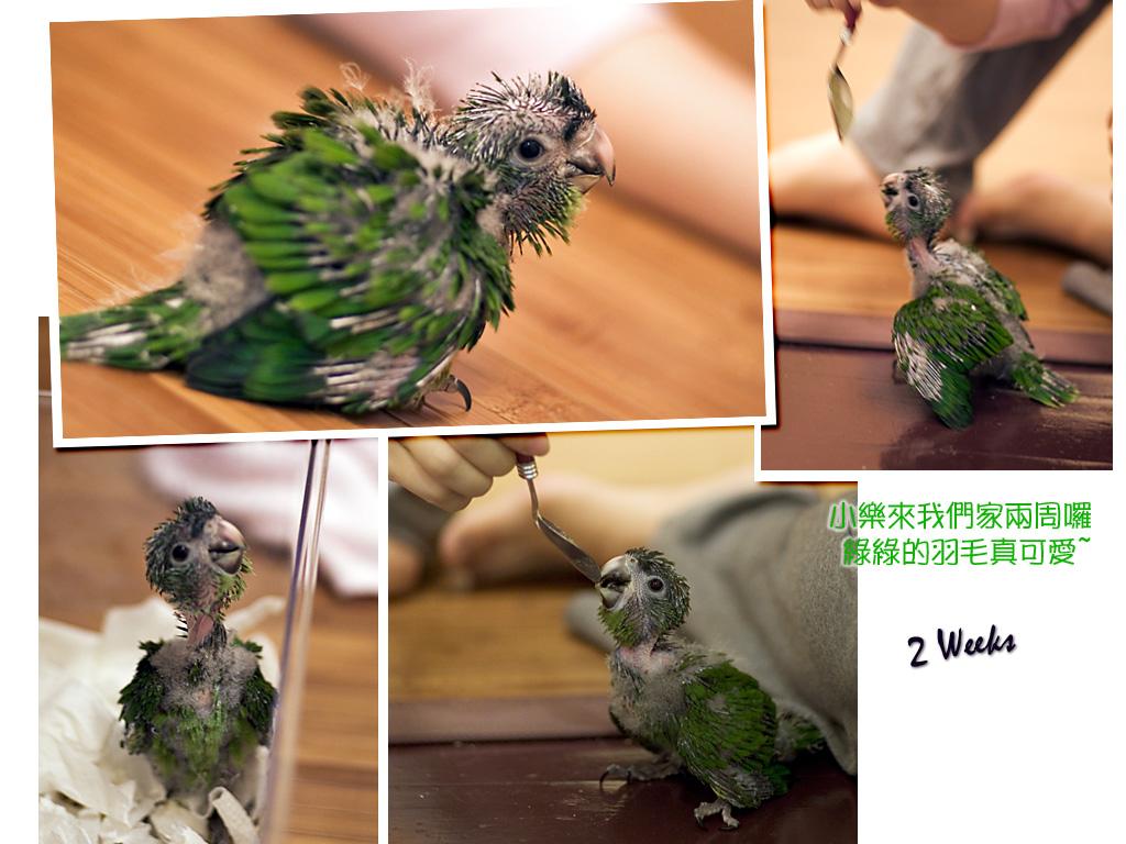 [紅肩鸚鵡] 小樂大全集(圖超多)-- 祝大家新年快樂 2007!!!
