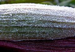 Corn husk (:Linda:) Tags: autumn winter texture germany corn frost village hoarfrost herbst grain structure thuringia mais husk maize autumnal raureif naturalpattern hildburghausen herbstlich rauhreif naturaltexture brden americangrain