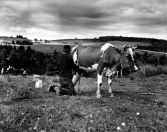 Leonard Gagnon milking his cows in the open field (John Collier Jr.) Tags: blackandwhite bw usa history classic film museum america vintage collier us photographer unitedstates propaganda wwii farming documentary patriotic roosevelt historic professional worldwarii 1940s archives maxwell ww2 americana civildefense patriotism archival forties largeformat anthropology homefront worldwar2 40s fsa wartime newdeal owi waryears officeofwarinformation johncollierjr farmsecurityassociation
