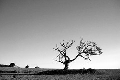The Solitary Dead Mango Tree (revisited) (joaobambu) Tags: brazil sky blackandwhite bw tree field leaves topv111 brasil contrast rural landscape dead arbole death one 1 countryside interestingness interesting scenery solitude alone branch emotion interior alma branches eins himmel brasilien cu mango soul bonsai gnarly campo lonely dying solitary landschaft rvore ceu galhos baum echapor echapora galho alein allein