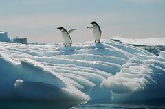 Take Care (peterkelly) Tags: film berg penguins wing antarctica glacier iceberg themoulinrouge naturesfinest adelie frostbites thisisexcellent goldstaraward expressofpro bestflickrphotography winnerbc