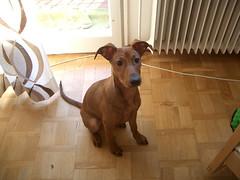 CIMG5165 (stefanooo) Tags: dog puppy alfie pinscher