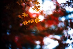 #01 in cycles (moaan) Tags: life leica 50mm dof bokeh 2006 f10 momiji noctilux mapleleaves leicam7 m7 rvp lifecycle fujivelvia fujirvp inlife gettyimagesjapanq1 gettyimagesjapanq2