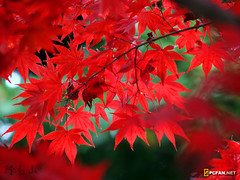 Maple (DigiPub) Tags: red plant maple yokohama          nogeyama