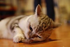 will you play with me ? (David CHOU) Tags: cat nikon jane f14 sigma 30mm d80 珍珍 choutali